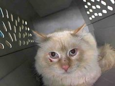 """Pretty baby KILLED at ACC!!! :( SMORES - A1047146 - - Manhattan *** TO BE DESTROYED 08/11/15 *** THIS MAGNIFICENT GROUP OF SEVEN CATS ARE FIGHTING FOR THEIR LIVES TONIGHT!! Brought into the ACC because of """"TOO MANY PETS"""", it is very clear that these cats have not had a caring owner or an easy life. Some are scratched up, all are timid or fearful and none are fixed…..THESE BEAUTIFUL CATS NEED A MIRACLE TONIGHT!! SEVEN FOSTERS CAN SAVE THESE CATS….LESS IF PEOPLE WILL TAKE TWO!! The"""