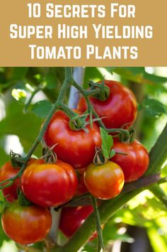 10 Secrets For Growing High Yield Tomato Plants Grow more tomatoes than you ever thought possible wi Growing Tomatoes Indoors, Growing Tomatoes From Seed, Growing Tomatoes In Containers, How To Grow Tomatoes, Container Gardening Vegetables, Planting Vegetables, Growing Vegetables, Vegetable Gardening, Veggie Gardens