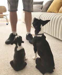 Maya e Nika, minhas duas cachorrinhas da raça Boston Terrier, na aulinha de adestramento