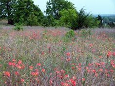 "Oklahoma Native Flowers ""Indian Paintbrush"" at Carney, Oklahoma"