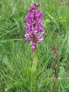 British Wild Flowers. Early Purple Orchid - Orchis mascula