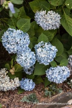 These tips for figuring out why your hydrangea isn't blooming are awesome. Find out what you need to do to get beautiful perennial Hydrangea flowers in your garden landscaping. Smooth Hydrangea, Hydrangea Bloom, Hydrangea Not Blooming, Hydrangea Garden, Hydrangea Flower, Shade Flowers Perennial, Part Shade Perennials, Flowers Perennials, Shade Plants