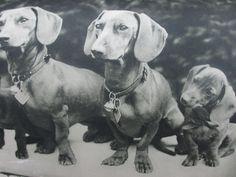 Darstellung aus einem Werk von Hermann Löns Dachshund, Dogs, Animals, Weenie Dogs, Animales, Animaux, Pet Dogs, Weiner Dogs, Doggies