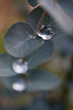 To sit on a eucalyptus leaf...