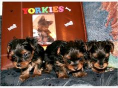 Providing small to tiny healthy, quality AKC Yorkie puppies to approved loving homes. These are true teddy bear yorkie pups w/ short cobby bodies, small ears, nice coats and will be very well socialized. Feel free to call, text (801) 692-7845 or email (courtneymakella@gmail.com) for more info.