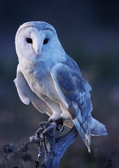 Barn Owl Information and Pictures Owl Photos, Owl Pictures, Beautiful Owl, Animals Beautiful, Owl Information, Animals And Pets, Cute Animals, Owl Bird, Bird Kite