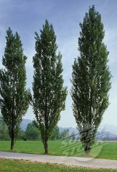 poplar trees my grandmother planted these as a wind break and a screen between neighbors