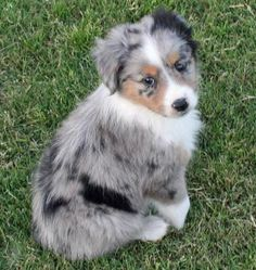 Australian Shepherd Puppy. If he was mine, his name would be Sergio!