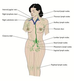 Illustration about Overview of the lymphatic system, including ducts, nodes cisterna chyli and thoracic duct. Illustration of lymphatic, right, edema - 13102957 Swollen Lymph Nodes, Dry Brushing Skin, Dry Skin, Lymph Fluid, Health Chart, Throat Pain, Lymphatic Massage, Health