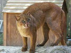 El yaguarundí (Puma yagouaroundi)2 es una especie de felino de pelaje pardo a negro uniforme, cuyo estado de conservación se considera de preocupación menor. Vive desde el sureste de México hasta el centro de Argentina. Más pequeño que su pariente próximo, el puma (Puma concolor), el yaguarundí caza animales pequeños.