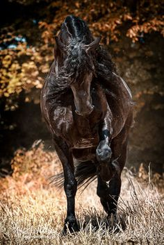 Friesen - Pferdefotografie, Hundefotografie, Fotografie Bettina Niedermayr Pferde - Mensch & Pferd - Hunde- Portrait - Stallschilder - Kalender, Pferdekalender, Haflingerkalender mit Kohlfuchs Liz. Steiermark
