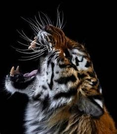 Siberian Tiger roaring - - Yahoo Image Search Results