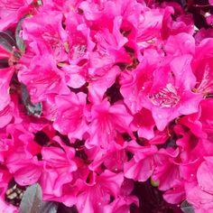Azaleas - my favorite shade
