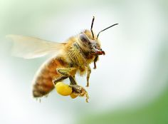 Yay, Oregon. The state is moving to ban poisons that pose biggest threat to bee populations. http://adv-jour.nl/1n7TyBr