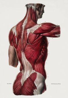 ML25 Vintage 1800's Medical Human Back Upper Body Muscles Anatomical Anatomy Poster... for the loo?