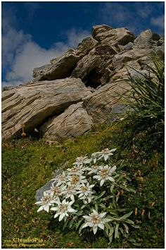 Leontopodium alpinum, Stella alpina, Edelweiss, Marguareis in Tessuto di Carta Rari 🌹 Awsome Pictures, Alpine Flowers, Edelweiss, Alpine Garden, Botanical Flowers, Plantar, Edible Flowers, Geraniums, Nature Pictures