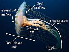 The major surfaces and axes of a jellyfish