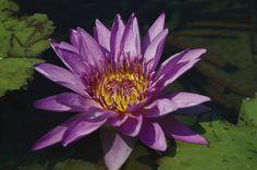 Flor acuática del nenúfar