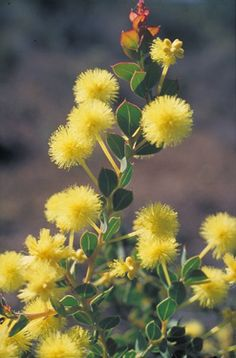 Info on propagation of Acacia's from seeds or cutting; Picture is of Acacia heterochroa in flower