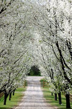 The way the light shines through the white on blooming pear trees warms my heart.
