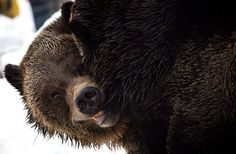 Week in Wildlife: grizzly bears emerging from hibernation  North Vancouver, Canada