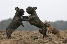 French Bulldogs, Fotka uživatele Valdemar Houdek.