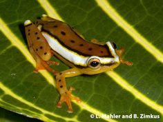 Mitchell's Reed Frog , Hyperolius mitchelli, from Tanzania by Luke Mahler and Breda Zimkus via African Amphibians Lifedesk (cc-by-nc)