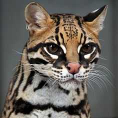 Diego the Ocelot Crazy Cats, Big Cats, Cats And Kittens, Cute Cats, Beautiful Cats, Animals Beautiful, Cute Baby Animals, Animals And Pets, Margay Cat