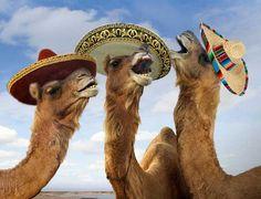 Los Tres Camellos Picantes