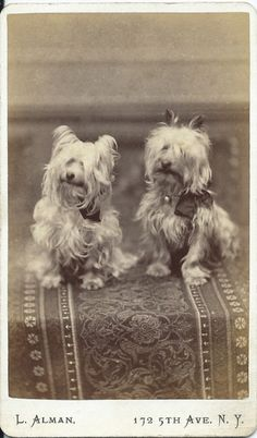 c.1880s superb cdv of two white (perhaps) Skye terriers with ribbon bows attached to their collars. Photo by L. Alman, 172 Fifth Avenue, corner of Twenty Second St., New York. From bendale collection