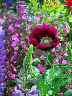 poppy, lupin - Mix 'Lauren's Grape' poppy with lupins & phlox for an old fashioned medley.