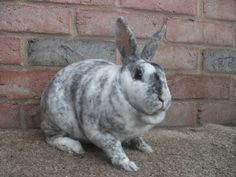 Magpie Mini Rex Rabbit beautiful but the sad thing is that magpies are a very rare coloring but they are so pretty and cute :D