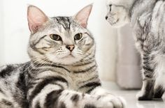 American Shorthair Cat and Kittens  #American #Shorthair #Cat #Kittens #Breed
