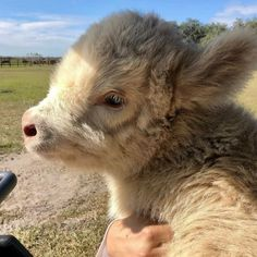 Since you all loved the fluffy cows we posted last week, we decided to show you some more! Share this with a friend who would love it! Cute Baby Cow, Baby Cows, Cute Cows, Cute Babies, Baby Elephants, Baby Farm Animals, Baby Sheep, Fluffy Cows, Fluffy Animals