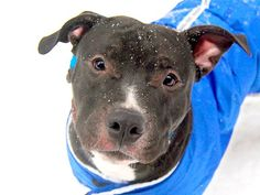 TO BE DESTROYED - 03/11/15 Manhattan Center -P  My name is EMERSON. My Animal ID # is A1029162. I am a male black and white pit bull mix. The shelter thinks I am about 4 YEARS old.  I came in the shelter as a STRAY on 03/01/2015 from NY 10458, owner surrender reason stated was STRAY. https://www.facebook.com/photo.php?fbid=972903189389227