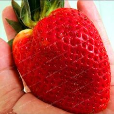 Big Strawberry Seed Cherry Berry Fruit Vegetable Seeds Rare Color Big Strawberry Seed Cherry Berry Fruit and Vegetable Seeds For Home Garden Plantiing Fragaria ananassa Duch Cactus Seeds, Succulent Seeds, Bonsai Seeds, Fruit Seeds, Tomato Seeds, Tree Seeds, Lotus Flower Seeds, Banana Seeds, Bamboo Seeds
