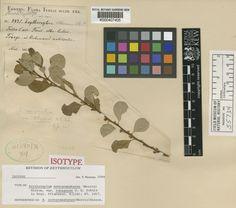 SpecimenK000407405 Current nameErythroxylum novogranatense var. tobagense Collector & no:Eggers       5831