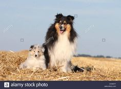 dog-rough-collie-scottish-collie-adult-and-puppy-tricolor-and-blue-D1WDT7.jpg (1300×956)