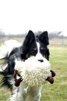 A Border Collie and Her Sheep, A beautiful thing!