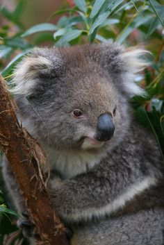 Koalas are not bears!  They are marsupials, and give birth to tiny, barely formed young that finish development outside the mother's body, in a pouch.