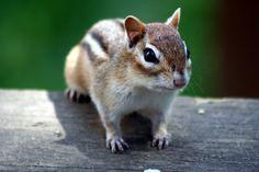 [フリー画像素材] 動物, 哺乳類, 栗鼠 / リス, シマリス ID:201305090600