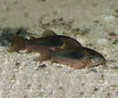 Corydoras aeneus: the Bronze catfish of South America - Just Cichlids