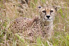 """Camouflage"" - photo by Sera.D., via Flickr;  Cheetah"