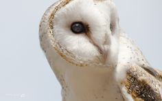 Australian Masked Owl by Adam Plucinski