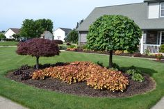 Huechera and Lavender Twist Weeping Redbud used in an island planting.