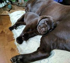 "2,881 Likes, 43 Comments - Watson | Chocolate Labrador (@watson_thechocolatelab) on Instagram: ""Little me snuggling with my friend Toscane after taking my very first bath #tbt #lab #labrador…"""