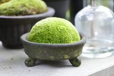 Moss | Shade loving, a perfect indoor houseplant. | Any moss from nature can be gathered in mass and laid down on rich compost, the plants will live well for months, misted regularly with water.