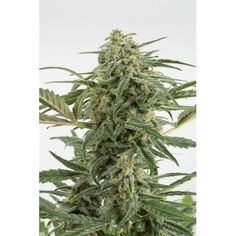 We have Moby Dick XXL Autoflowering cannabis seeds on sale. You can purchase this high quality automatic cannabis seed that has been tried by thousands of customers, m. Buy Cannabis Seeds, Cannabis Seeds Online, Cannabis Oil, Smoke Weed, Upstate New York, Growing Weed, Seed Bank, Marijuana Plants, Buy Weed