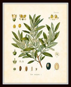 Antique Olive Botanical Art Print 8x10 - Series Kohler Medicinal Plants 1887 Home Decor Digital Collage Illustration. $10,00, via Etsy.