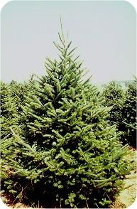 Balsam Fir - Christmas Tree Types!